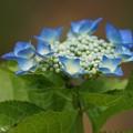 写真: 紫陽花12