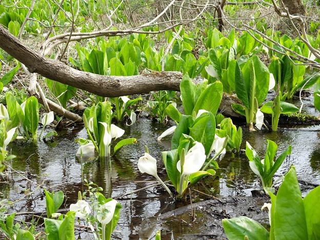 いもり池の水芭蕉