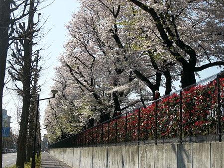 コニカミノルタの桜並木(日野市)