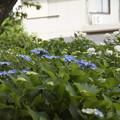 紫陽花 7