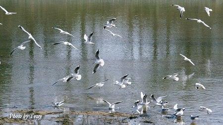 群れ飛ぶユリカモメ