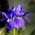 Photos: 二輪の花