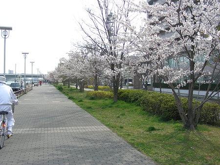 uxtvそばの桜(1)
