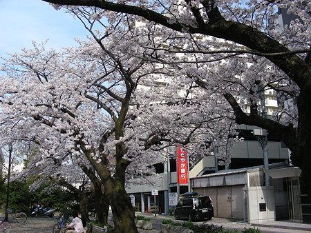新潟市万代公園の桜
