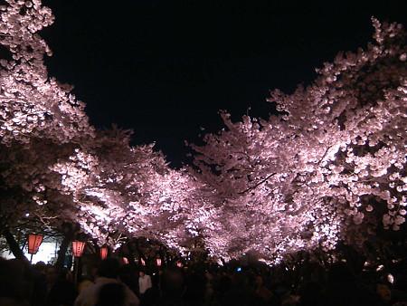 高田公園の夜桜1