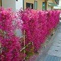 Photos: トキワマンサクの赤花