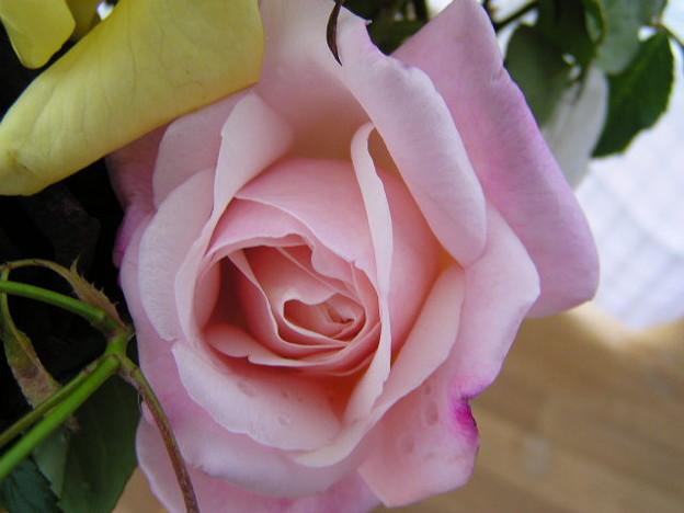 Photos: 2006秋のバラ1