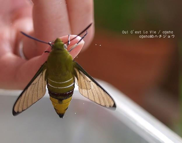 羽化。鱗粉落とし01(オオスカシバ飼育)