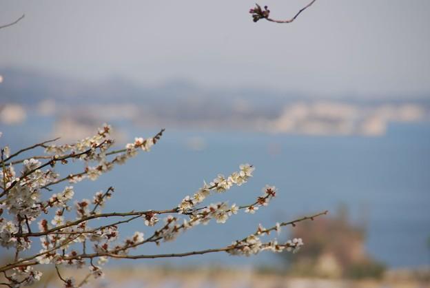 白梅と島影