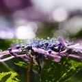 写真: 雨上がりの紫陽花