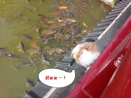 小田原城お堀の鯉