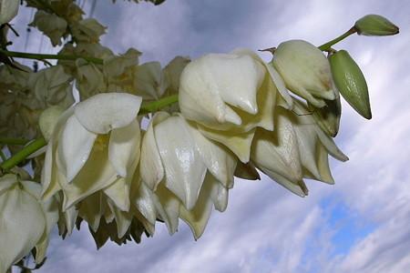 竜舌蘭照花