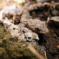 Photos: 小坊蜥蜴