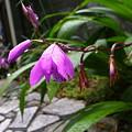 Photos: 雨垂れ紫花
