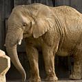 写真: アフリカゾウ