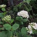 Photos: 庭の白花-2