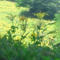 Photos: 明るく咲いて