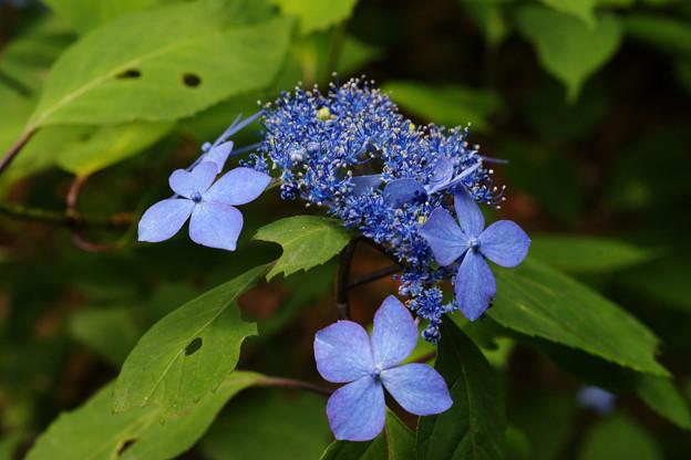 Photos: 森の中のクロヒメアジサイ_02