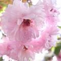 造幣局 菊桜