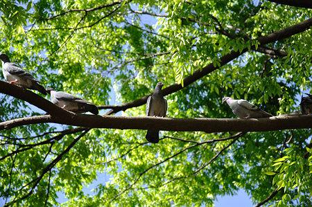 木に集まる鳩