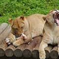 Photos: ライオンお食事