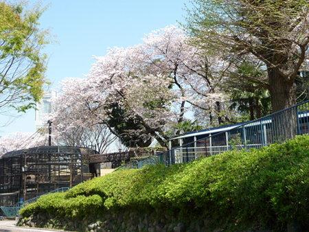 090409-野毛山動物園の桜 (5)