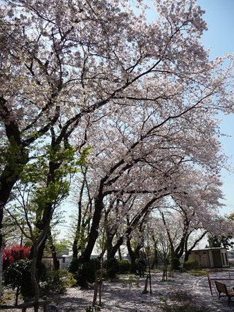090409-野毛山公園の桜 (7)