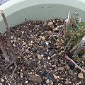 Photos: 台木の芽吹き比較