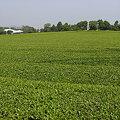 写真: 茶色くないけど茶畑
