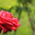 写真: 平和公園・赤薔薇01-12.07.09