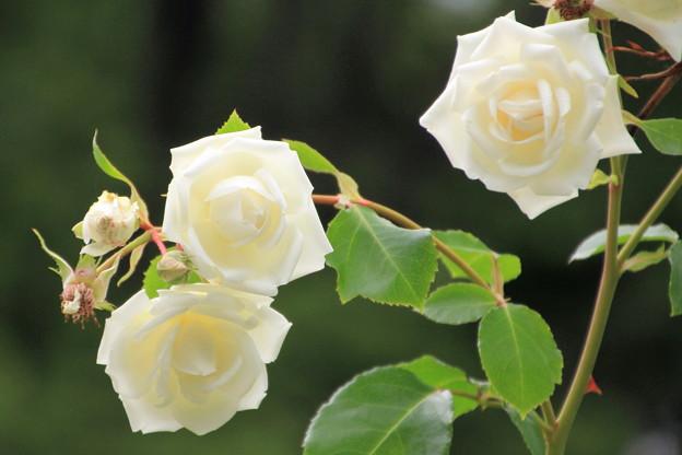 平和公園・白薔薇01-12.07.09