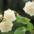 写真: 平和公園・白薔薇01-12.07.09