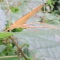 Photos: 【3】セスジツユムシのオス(褐色型)