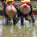 写真: 後楽園お田植え祭り8