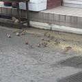 スズメの群れ  7
