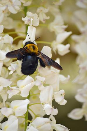 1405クマバチの蜜集め03