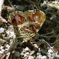 サカハチチョウ春型♀(十勝三俣)-001