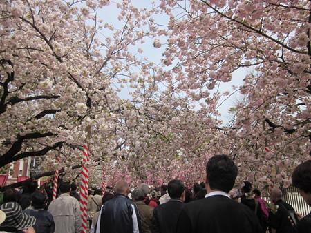 5桜のトンネル