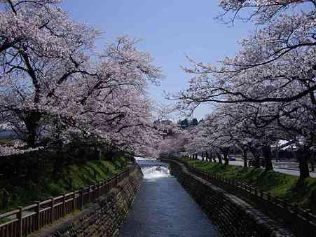 殿様林の桜3s
