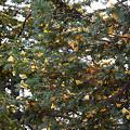 イチョウの木?(笑)