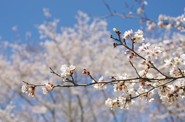 写真: 宮ヶ瀬の桜2