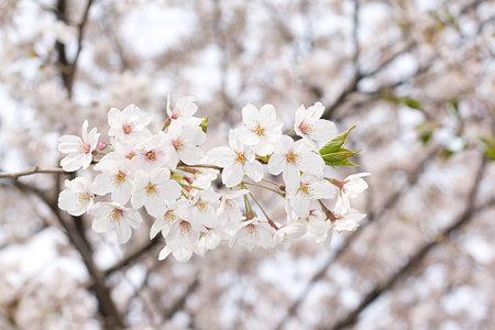 桜の花 その3