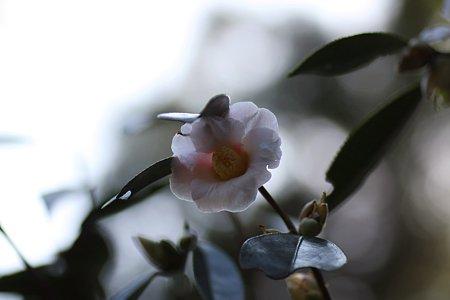 2009.02.21 南足柄市郷土資料館 森のひなまつり 椿