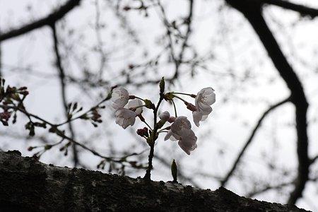 2009.03.28 染井吉野