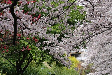 2009.04.05 引地川・千本桜