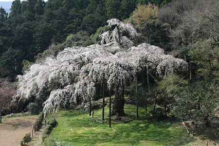 2009.04.07 招太寺 枝垂桜 樹齢330年