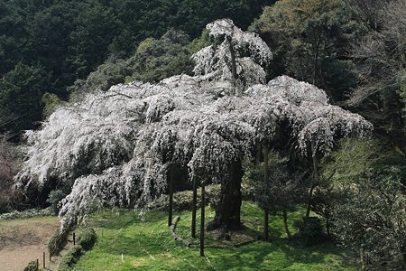 2009.04.07 招太寺 枝垂桜 樹齢330年-3