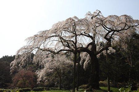 2009.04.07 招太寺 枝垂桜 樹齢330年-1