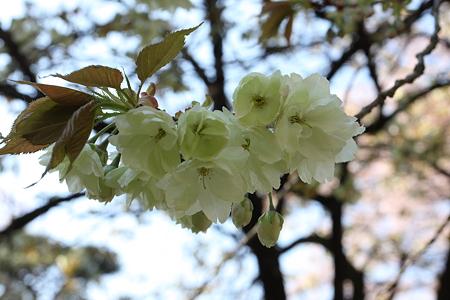 2009.04.11 恵林寺 右近桜-1