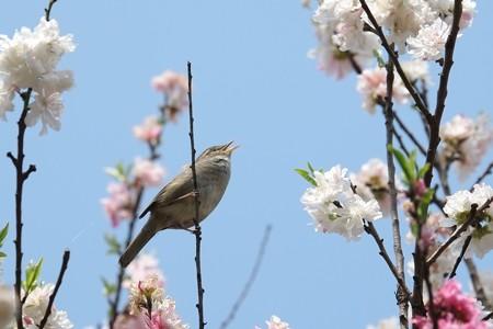 2014.04.17 和泉川 ハナモモにウグイス